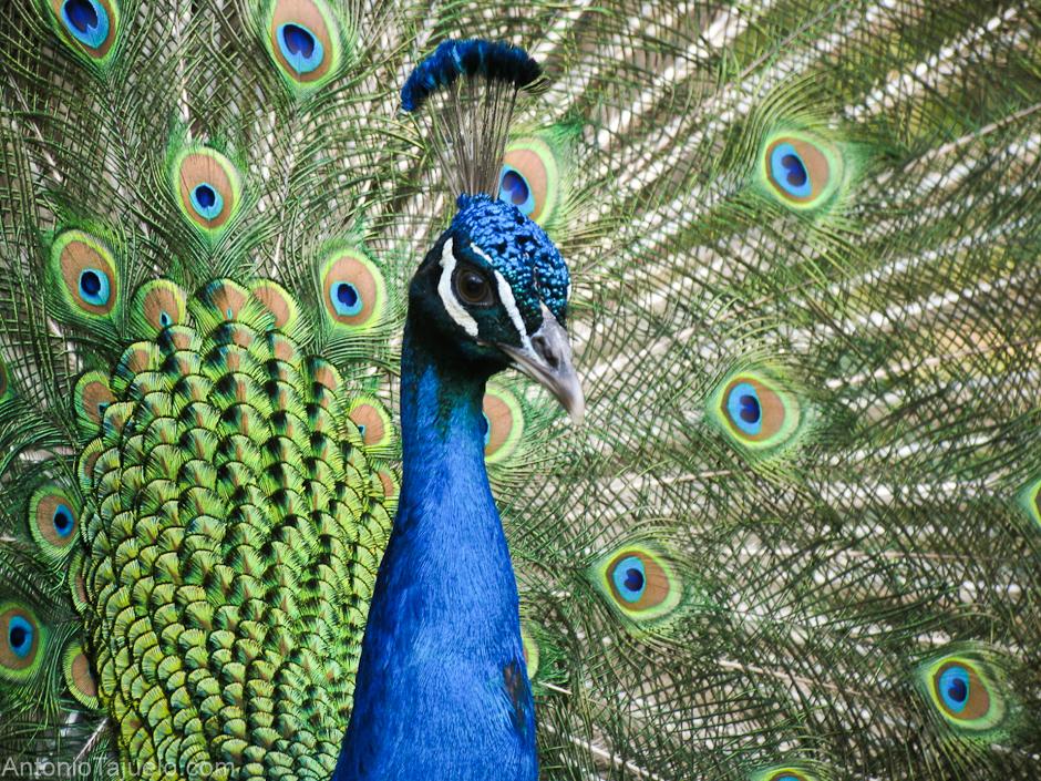Pavo real para pintar imagenes para pintar - Fotos de un pavo real ...